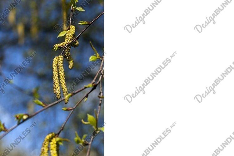 birch tree example image 1