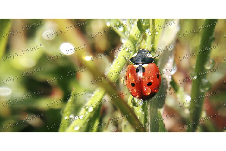 Ladybug on a summer morning in the dew crawls on the grass