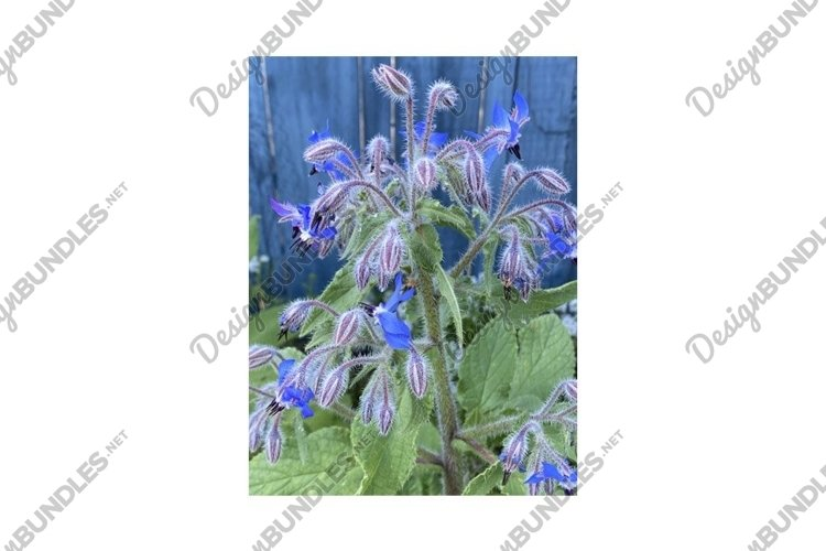 Photo of the Flower of Centaurea Cyanus Cornflower example image 1