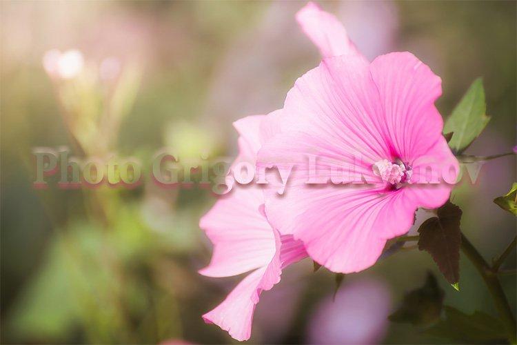 Stock Photo - Bright crimson mallow flowers example image 1