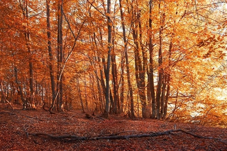 Autumn forest. Trees with red and yellow leaves example image 1
