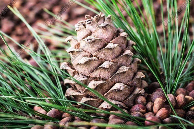 Cedar pine cone with pine fresh nuts close-up. example image 1