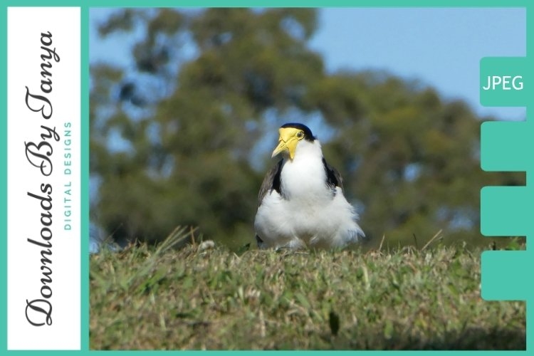 Sitting masked lapwing plover bird example image 1