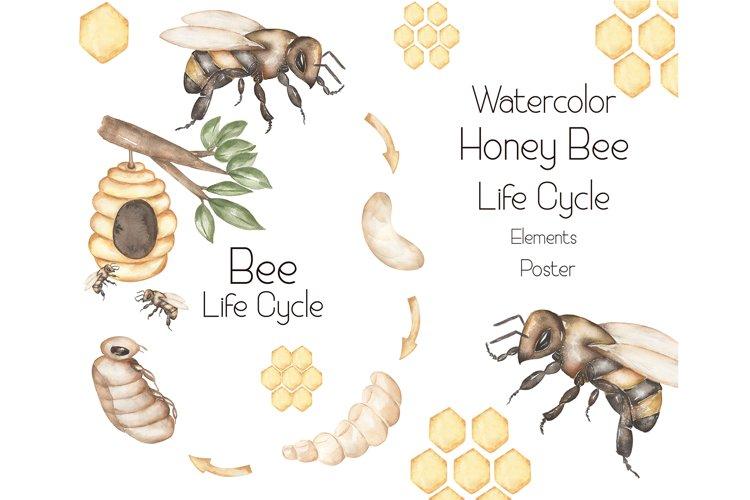 Watercolor Honey Bee Life Cycle