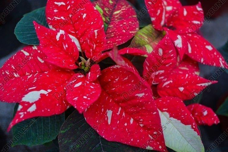 Red white poinsettia flower. Christmas or Bethlehem star example image 1