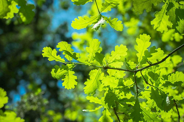 Stock Photo - Tree branch with fresh leaves on a summer day example image 1