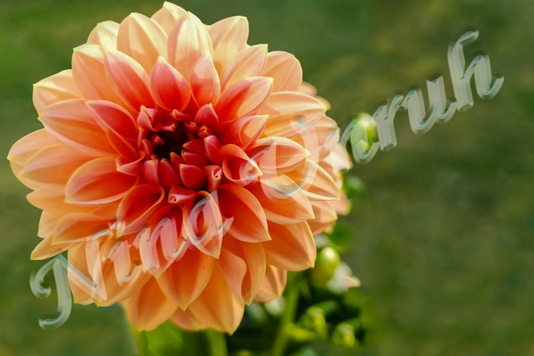 Flower crown of cream-pink Royal Dahlia flower with buds