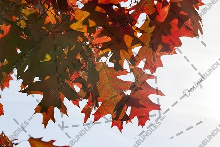 red maple leaves example image 1