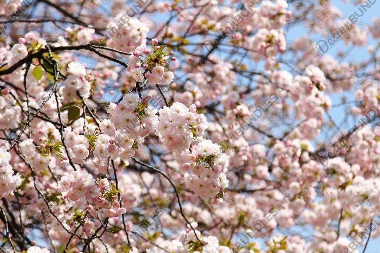 sakura flower blooming example image 1
