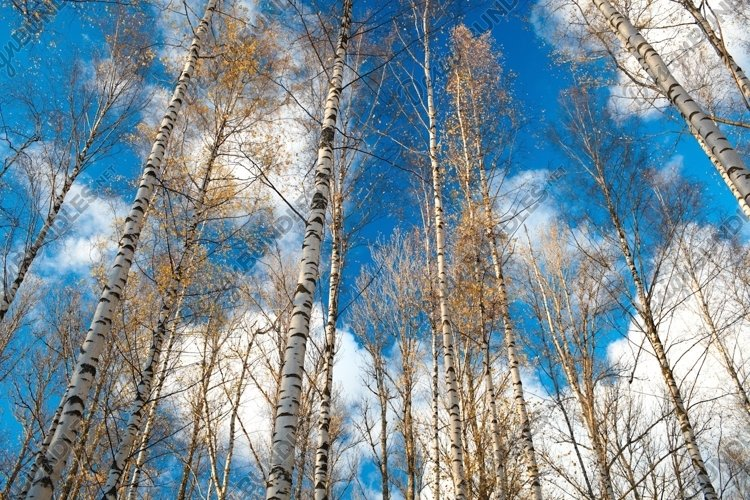 Birch trees against the blue sky example image 1