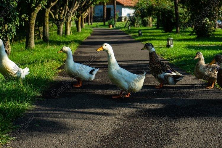 Ducks close to the Lopota lake example image 1