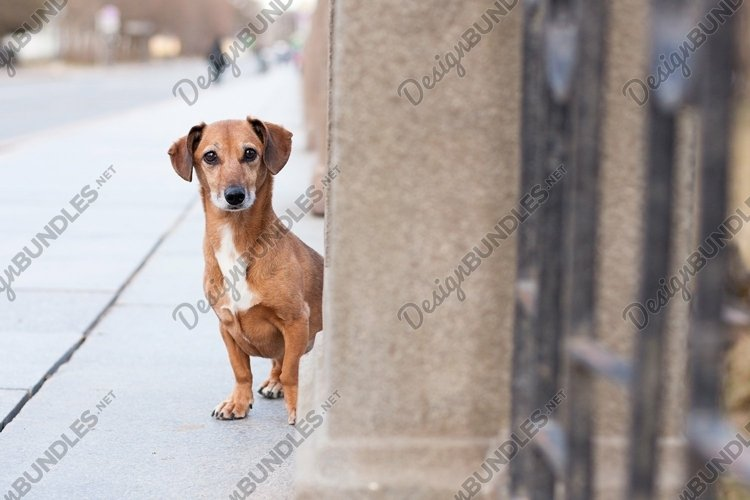 A dog, a mongrel, a dachshund alone on a city street example image 1