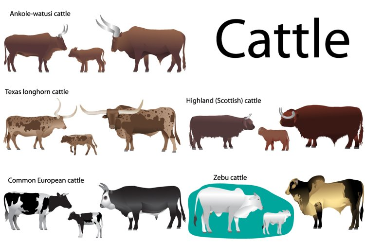 Cattle example image 1