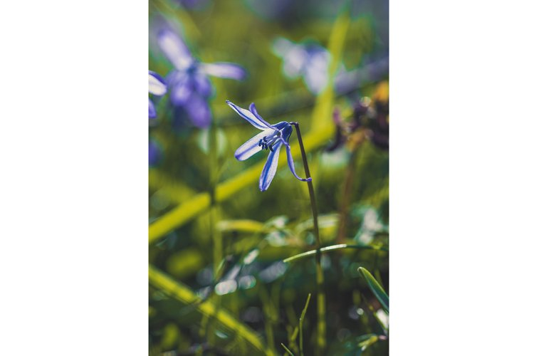 Blue snowdrops and a spring sunny forest example image 1