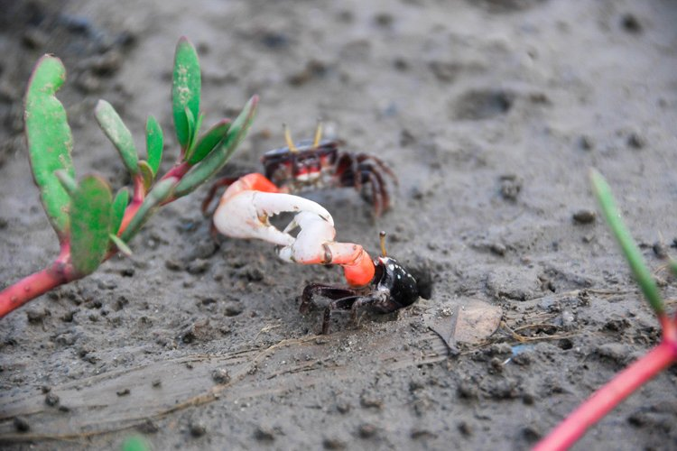 Fiddler Crabs fight example image 1