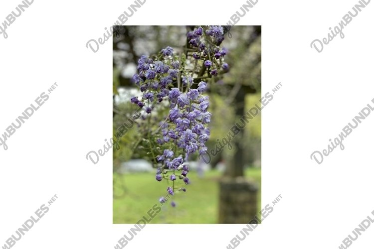 Photo of the flower of Wisteria Amethyst or Chinese Wisteria example image 1