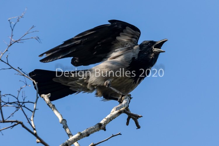 A young crow with spread wings spreads its beak wide.
