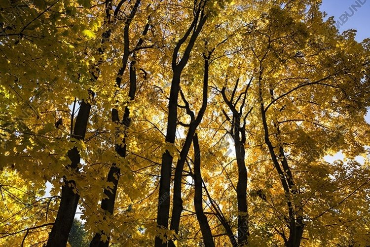 yellowed leaves of trees example image 1