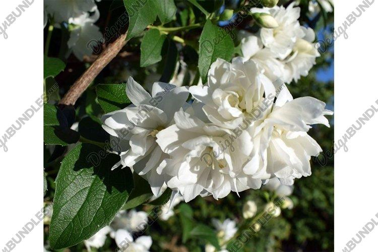 Blooming jasmine in the summer garden. example image 1