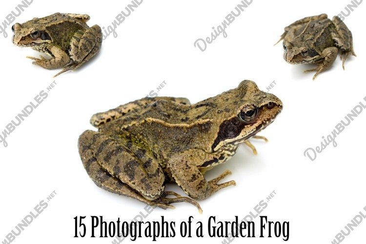 Common Garden Frog 15 Photographs in Different Angles JPG example image 1