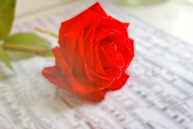 Red rose flower and music notes sheet