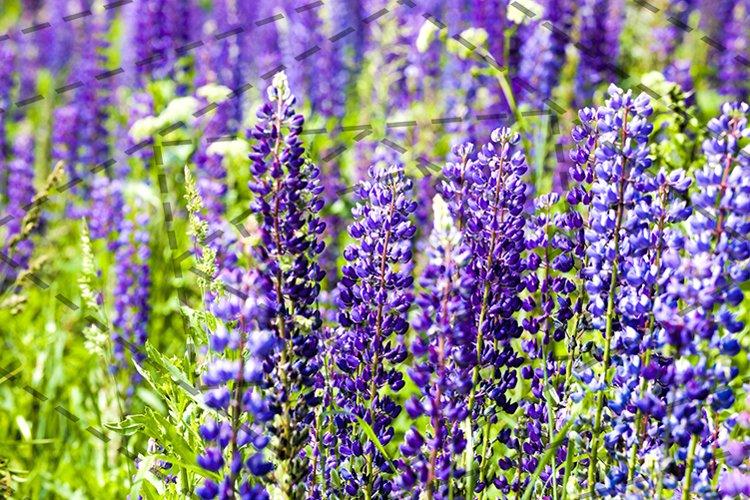 flowering blue lupine example image 1