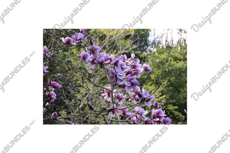 Photo of the Flower of Magnolia Athene or Magnolia Milky Way example image 1