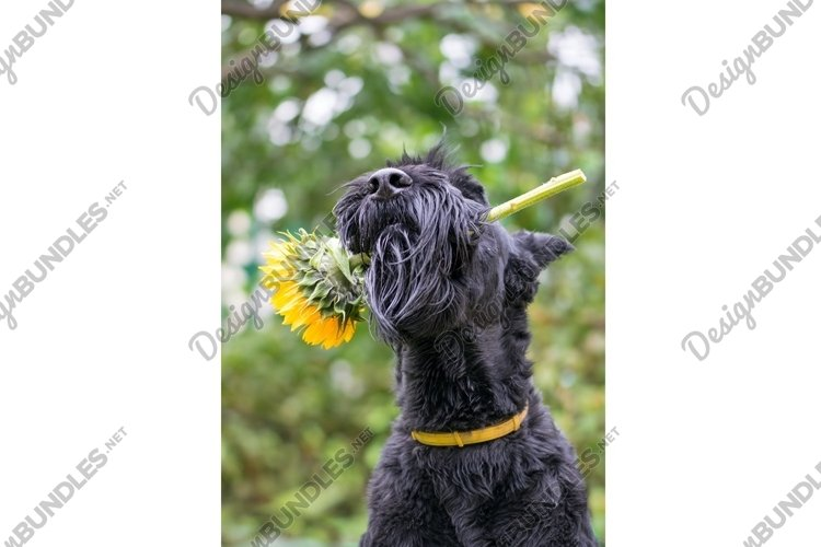 Black dog with a sunflower example image 1