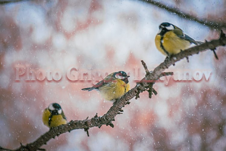Stock Photo - Titmouse bird on a snowy winter day example image 1