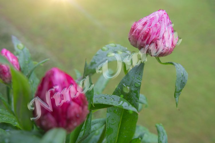 Pink Helichrysum bracteatum,everlasting Straw flower example image 1