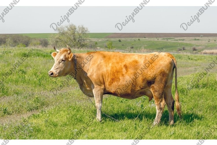 Brown cow grazing onthe meadow example image 1