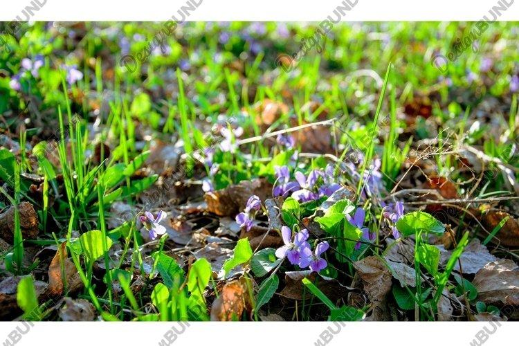 Delicate blue forest violets. Spring easter card example image 1