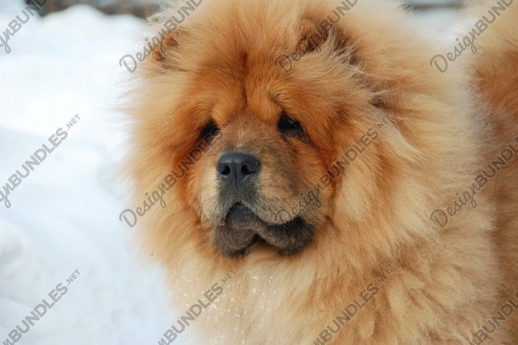 Winter portrait of a dog. Chow-chow breed.