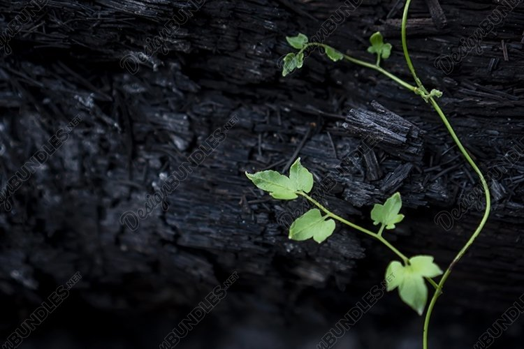 Shoots of young plants grow on charcoal example image 1
