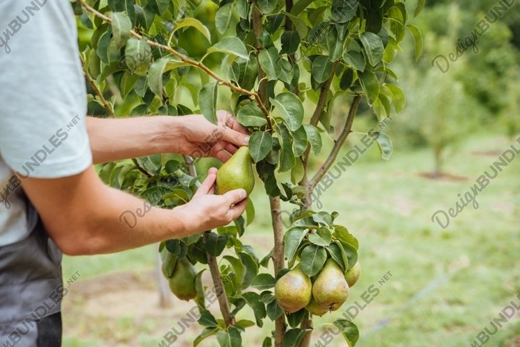 A male farmer picks pears in the garden example image 1
