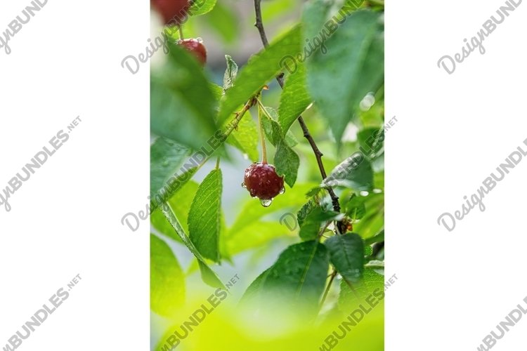 Ripe red cherry example image 1