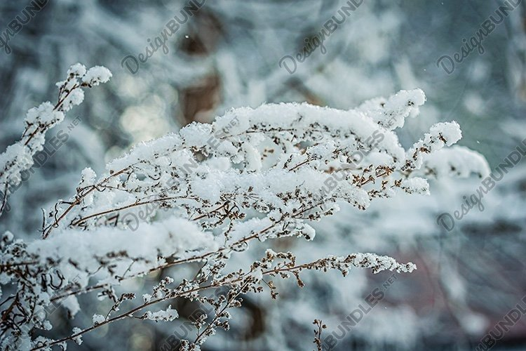 Stock Photo - Dry plant covered with snow on a frosty winter example image 1