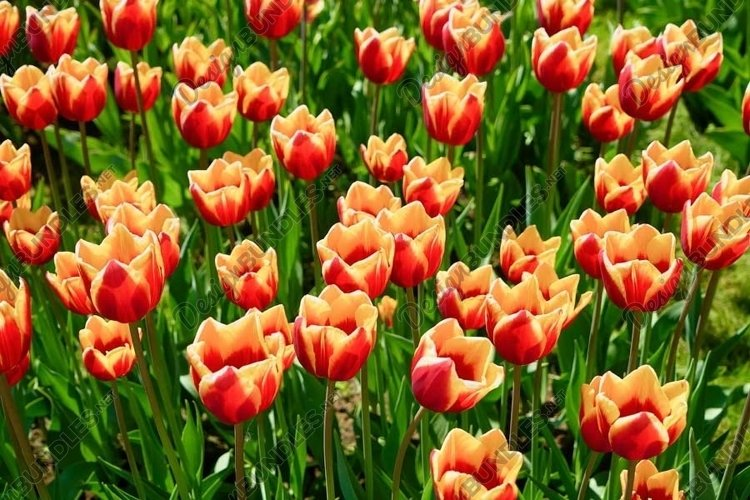 Yellow red tulip flowers blooming in a tulip field example image 1