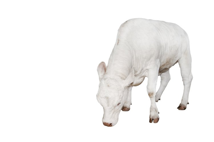 Ugly young white cow isolated on white background.