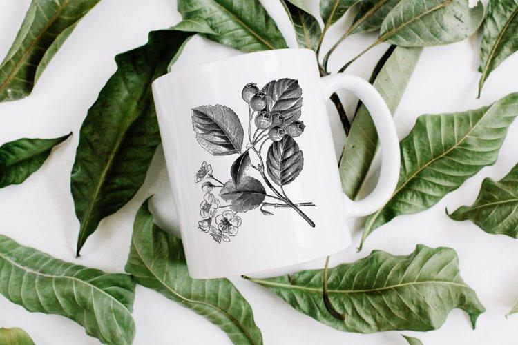 Hawthorn Vintage Flowers, Black Botanical Illustrations