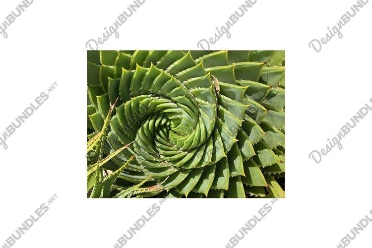 Aloe polyphylla or Spiral Aloe Plant Photo example image 1
