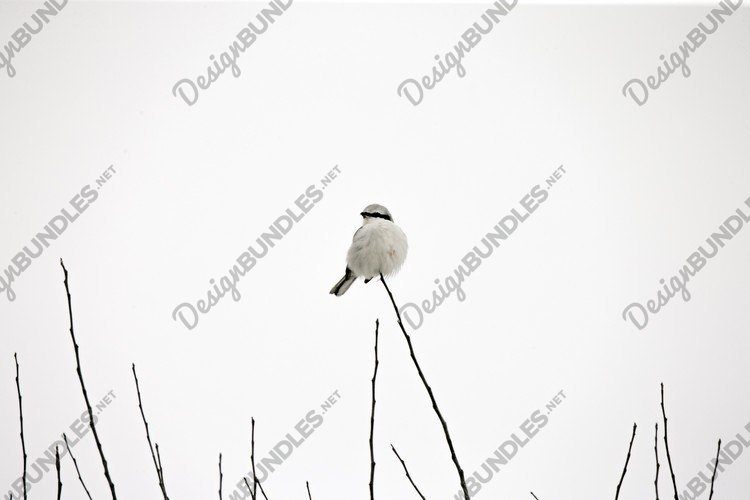 red-backed shrike Lanius Collurio on tree in winter example image 1