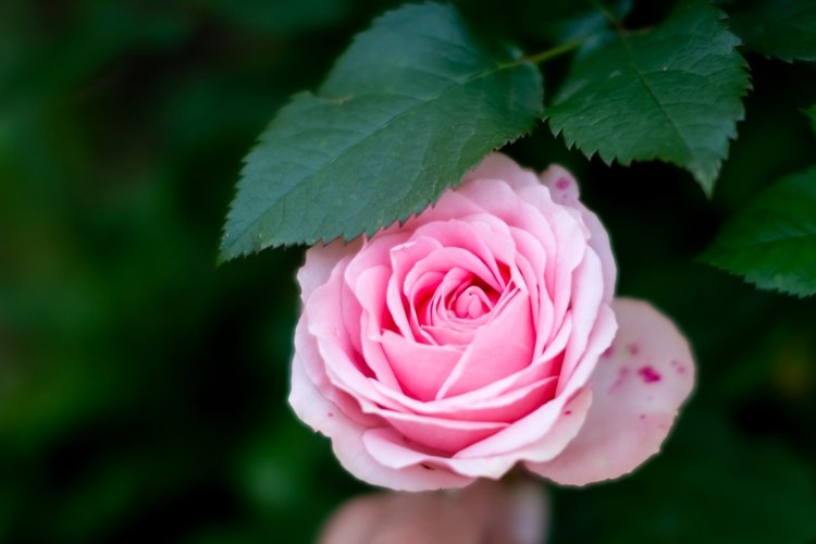 pink rose flower on nature background example image 1