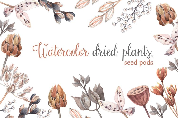 Watercolor dried plants,seed pods.