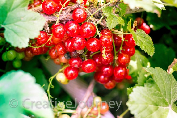 Red currant in garden.