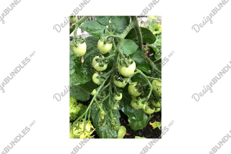 Green Heart-Shaped Tomato heart breaker example image 1