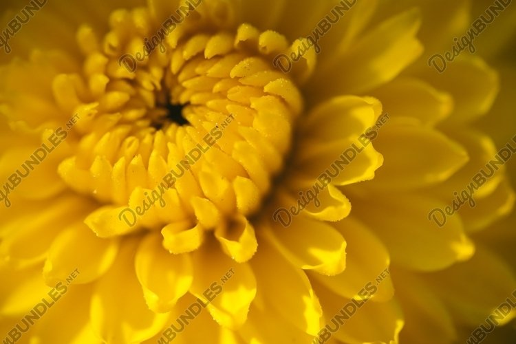 Yellow autumn chrysanthemums example image 1