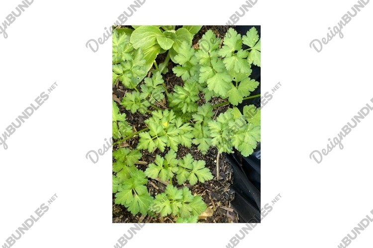 Photo of the Plant Coriander Coriandrum Sativum example image 1