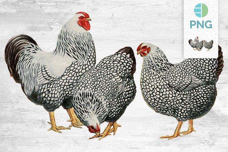 Chicken Clipart Wyandottes