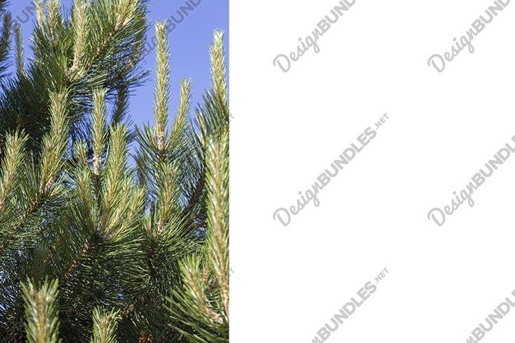 pine tree example image 1